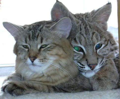 Can Cats Mate With Bobcats